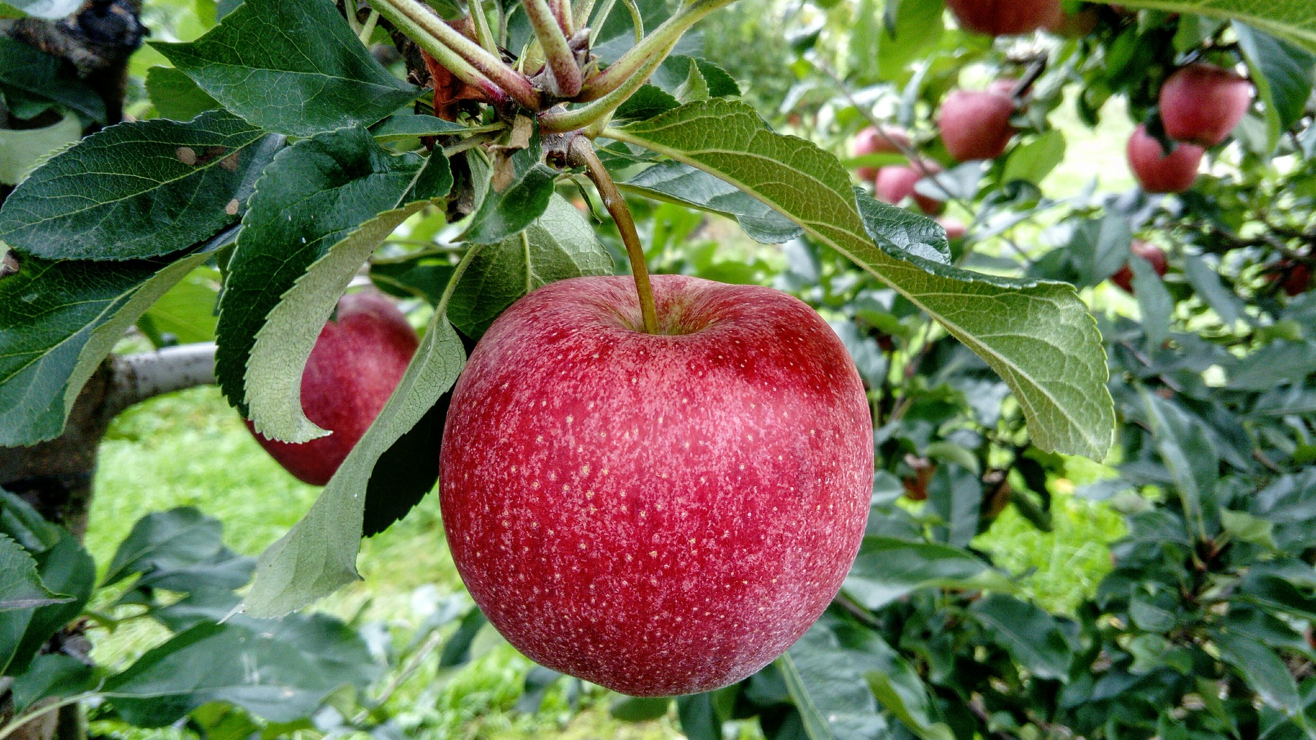 Growing Fruit – fresh fruit from your garden, allotment or patio gives lasting rewards