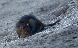 Rodents: your number one enemy in the house