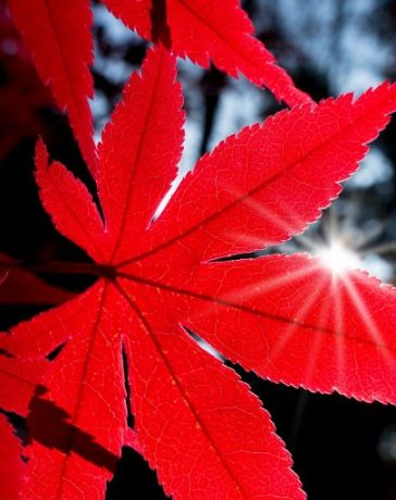 Japanese maples are wonderful for lengthy term